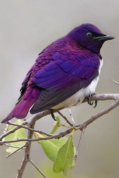 Violet-backed starlings are found widely in the woodlands and savannah forest edges of mainland sub-Saharan Africa.