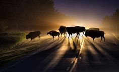 Bison Night Train Photo and caption by Mark Hughes 2015 National Geographic Photo Contest