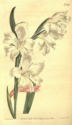 Gladiolus carneus - circa 1803   From our collection of bota…   Flickr