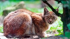 pictures of a lynx cat