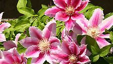 Clematis Clematis 'Fireworks'