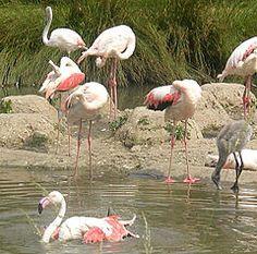 Flamingo-comum