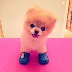 Boo the World& Cutest Dog signs shoe charm deal with Crocs . Tiny Puppies, Cute Puppies, Cute Dogs, Cute Babies, Lab Puppies, Boo The Cutest Dog, World Cutest Dog, Cute Funny Animals, Cute Baby Animals