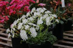 """Lewisia cotyledon 'Alba'   The rare pure white flowering form has nice green, evergreen succulent rosettes. 10″ X 12"""" Grow in sun to part shade, in gritty, well-drained soil, topdress with grit. Keep on the dry side and does best with some afternoon shade in hot summer climates. Hardy to –10 degrees F. Portulacaceae"""