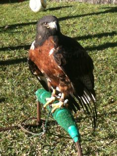 Jackie the Jackal Buzzard visits Holiday Club