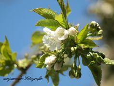 Kirschblüten sind so super schön!  Mehr gibt es bei Maja http://www.majamade.blogspot.de/2013/05/cherry-blossoms.html