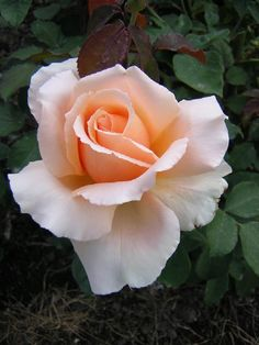 Just Joey -Hybrid Tea, Fragrant.  Seeing dozens and dozens of these roses in Queen Mary's Rose Garden in London!