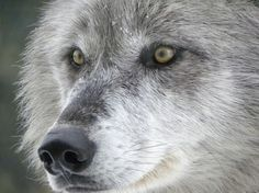 I once had the joy of being a pet to a Timber Wolf
