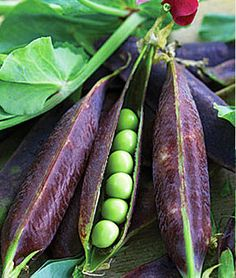 20 Blauwschokkers Purple Podded Peas Seeds | Heirloom Non GMO, Pink Flowers, Purple pods, Cool Weather Crop, DIY Kids Home Plant Garden Deco  Purple Podded Pea has attractive ornamental pink flowers followed by gorgeous purple pods. A must have if you want to add some colour to your vegetable garden. Have a look at our full range of seed packets and buy your seeds now, so you can grow some unusual varieties of flowers and vegetables too. Purple podded pea is a maincrop variety, good…