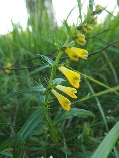 Metsämaitikka-Melampyrum sylvaticum