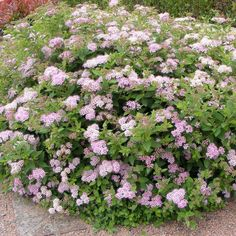 Spirea 'Little Princess'