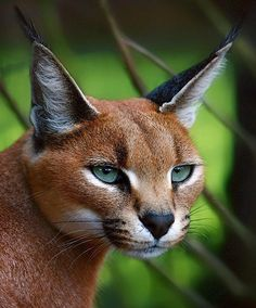 Caracal - This one has the most beautiful color of eyes.