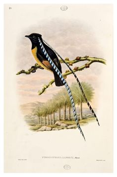 Pteridophora alberti, King of Saxony Bird of Paradise, vol.1 pl. 38 from R. Bowdler Sharpe (1891 - 1898), Monograph of the Paradiseidae or Birds of Paradise and Ptilonorhynchidae or Bowerbirds