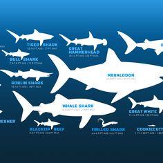 How Sharks Are Built | Sharkopedia