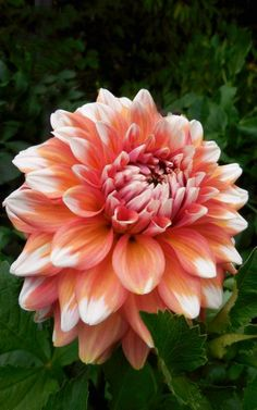 via Dahlia 'A La Mode'   beautiful and amazing collection of dahlias at Butchart, Brentwood Bay, Canada   LiveDan330