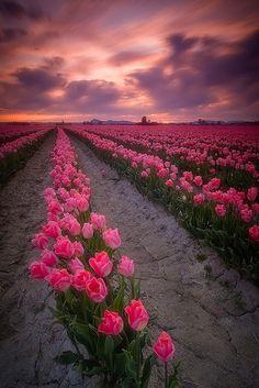 tulips, tulips, tulips!