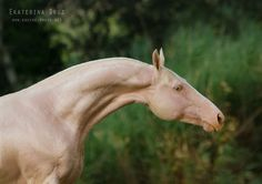 "An Akhal-Teke horse -- Photo by Ekatarina Druz. There's something about this photo that totally makes me think of the Thestrals, the skeletal invisible flying horses in ""Harry Potter. Most Beautiful Horses, Animals Beautiful, Horse Markings, Akhal Teke Horses, Golden Horse, Horse Anatomy, Horse Books, Horse Fly, Work Horses"