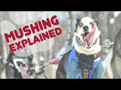 Mushing Explained: Iditarod 2016 - YouTube