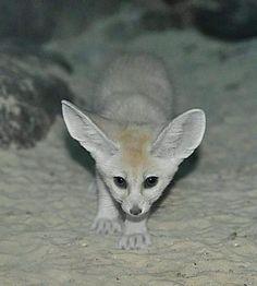 1000 images about fox on pinterest fennec fox foxes - Pagina da colorare fennec fox ...