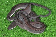 Image result for xenodermus javanicus