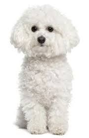 Image result for needle felted bichon frise