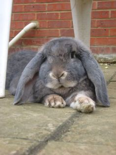A relaxed rabbit may lie on his belly with his back legs stretched out behind him. He may also squat with all legs tucked beneath him and his ears softly held against his head. Grey Bunny, Cute Bunny, Bunny Bunny, Funny Bunnies, Baby Bunnies, Lop Bunnies, French Lop Rabbit, Baby Animals, Cute Animals