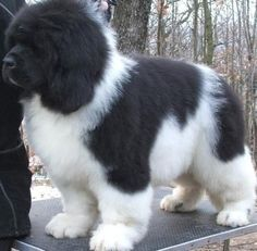 The 10 largest Dog Breeds, Newfoundland is the 4th one :). He looks like my dog that I had growing up, Mogley!