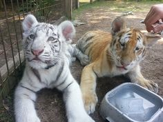 It is at the Alabama Gulf Coast Zoo in Gulf Shores. We checked their Facebook page for when the tigers would be available. They do the encounters until the tigers are about 4 months old. It was $50 or person for 30 minutes. We also got to do encounters with kangaroos and lemurs but those don't have to be scheduled ahead of time.