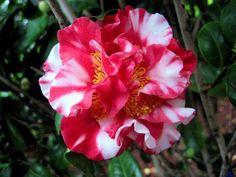 Camellia Japonica - Bing images