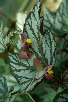 Photo de Bégoniacée : Begonia deliciosa
