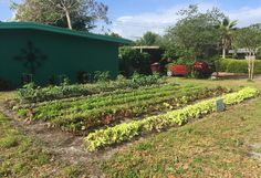 "Rows of greens grow on the front yard of Gary Henderson's house. He's one of a handful of homeowners in Orlando, Fla., who've given up their lawn to Fleet Farming. Once ""you realize that you can eat your lawn, I think it makes a whole lot of sense,"" Henderson says."