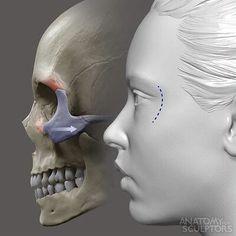 ArtStation - Nose development , Anatomy For Sculptors Facial Anatomy, Skull Anatomy, Head Anatomy, Foot Anatomy, Human Anatomy For Artists, Human Anatomy Art, Anatomy Sketches, Anatomy Drawing, Anatomy Study