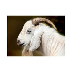 Goat portrait, animal photography, brown white, cream and brown,... (€9,39) ❤ liked on Polyvore featuring home, home decor and brown home decor
