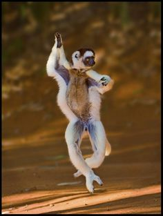"Sifakas are sometimes known as ""dancing lemurs"" for their mode of locomotion when they cross open ground: sifakas do not move about on all fours—instead they sashay on their hind legs while holding their arms aloft (pic 1)"