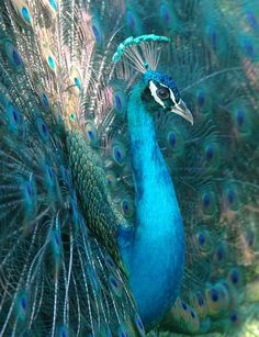 beautiful peacock.