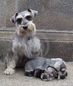 Schnauzer family by Pixbilder, via Dreamstime