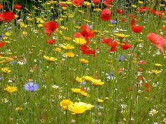 A Beautiful British Wildflower Garden with Corn Marigolds, Cornflowers, Poppies and Corn Chamomile