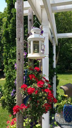 purple clematis on old wooden ladder june 2016