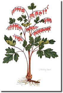 bleeding heart--one of my all-time favorite flowers in the spring. Botanical Illustration, Botanical Prints, Botanical Gardens, Bleeding Hearts, Heart Images, Finding Joy, Botany, Flora, Antiques