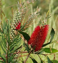 Callistemon glaucus - Albany Bottle Brush