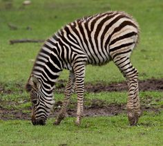 Cotswold Wildlife Park by jontlaw, via Flickr