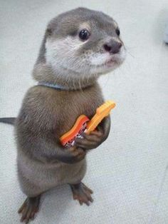 All of these pictures of baby animals, but this otter just wants to show you its guitar, and was wondering if you have the time to check it out. Cute Baby Animals, Animals And Pets, Funny Animals, Otters Funny, Funny Dogs, Tierischer Humor, Baby Otters, Baby Sloth, Tier Fotos