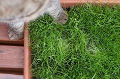 In diesem Beitrag erfahrt Ihr wie man einen sicheren Katzenbalkon mit tollen Katzenpflanzen, wie Katzenminze, Katzengamander, Katzengras und Baldrian anlegt. Animals And Pets, Herbs, Cats, Blog, Diy, Cat Hacks, Scratching Post, Animals, Homes