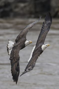Two eagles close in flight together