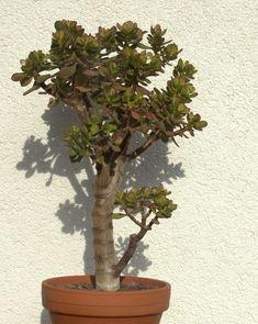 Jade tree (Crassula ovata & arborescens) as bonsai . Jade Bonsai, Succulent Bonsai, Planting Succulents, Banyan Tree Bonsai, Indoor Garden, Indoor Plants, Cherry Blossom Bonsai Tree, Bonsai Trees For Sale, Jade Tree