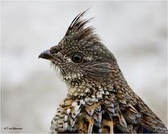 ruffed grouse images - Google Search