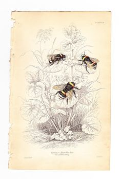 Antique Vintage Bee Print dated 1840  The by slinkymalinkicat, $29.95
