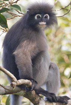 Dusky leaf monkey (Trachypithecus obscurus), found in Malaysia, Burma, and Thailand.