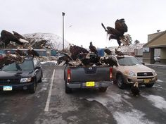 Pack of Eagles attacks a car at an Alaskan Safeway supermarket! Click the link to read & watch the VIDEO: http://awesomeanimals01.blogspot.co.il/2013/06/pack-of-eagles-attacks-car-at-alaskan.html#.UgoI23_7Bid