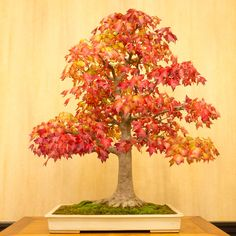 Bonsai trained maple tree.